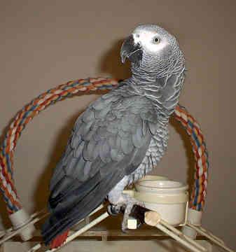 Afrika adalah spesies burung beo yang ditemukan di huta