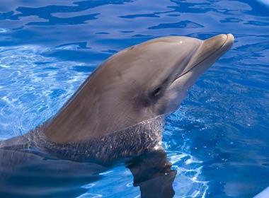 Lumba lumba (Bottlenose Dolphins)
